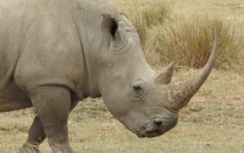 Sherlock Holmes  e il caso della testa  di rinoceronte